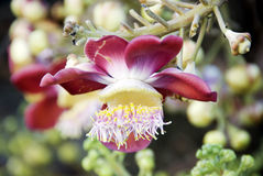 CANNON BALL FLOWER. The cannon ball flowers blossom in summer time Royalty Free Stock Photography