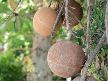 Cannon ball fruit. The fruit of cannon ball tree Royalty Free Stock Images