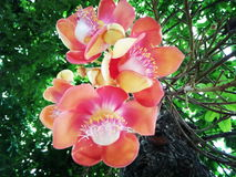 Cannon ball tree. Beautiful flower of cannon ball tree Royalty Free Stock Photos