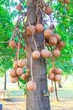 Cannon Ball Tree Royalty Free Stock Photo