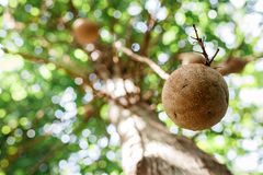 Cannon Ball Tree. The beautiful forest and tree Royalty Free Stock Image