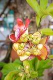 Cannon Ball Tree. Sal, Couroupita guianensis Royalty Free Stock Photos