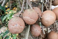 Cannon Ball Tree. Sal, Couroupita guianensis Royalty Free Stock Images