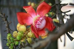 Cannon Ball Tree. / tropical tree Royalty Free Stock Photo