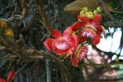 Cannon Ball Tree. / tropical tree Stock Image