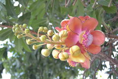 Flowers in literature,Cannon Ball Tree (Couroupita Royalty Free Stock Images