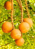 Cannon-Ball Tree. Fruit of Cannon-Ball Tree Stock Photos