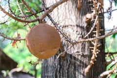 Cannon ball tree fruit.  Stock Photo