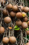 Cannon ball tree fruit. Hanging on tree Royalty Free Stock Photography