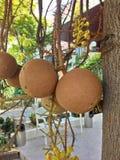 Sal Fruit Cannon  ball Stock Image