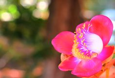 Cannonball flowers , Cannonball Tree, Sala tree, Shorea robusta flowers. royalty free stock images
