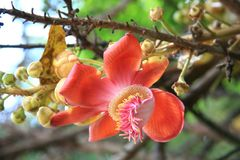 Cannon Ball Tree. / tropical tree Royalty Free Stock Photography