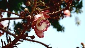 Cannonball δέντρο Στοκ Εικόνες