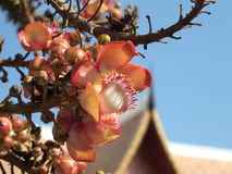 Cannonball δέντρο Στοκ εικόνα με δικαίωμα ελεύθερης χρήσης