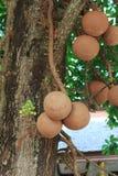 Cannonball δέντρων άλατος δέντρο Στοκ Φωτογραφίες
