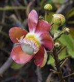 Cannonball λουλουδιών δέντρο Στοκ εικόνες με δικαίωμα ελεύθερης χρήσης
