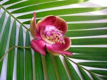 cannonball λουλούδι δέκα τρία Στοκ εικόνες με δικαίωμα ελεύθερης χρήσης