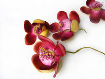 cannonball λουλούδι δύο στοκ εικόνα με δικαίωμα ελεύθερης χρήσης