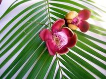 cannonball λουλούδι τέσσερα είκ&o στοκ φωτογραφίες
