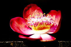 Cannonball λουλούδια δέντρων Στοκ εικόνες με δικαίωμα ελεύθερης χρήσης