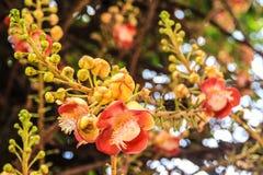 Cannonball λουλούδι Στοκ εικόνες με δικαίωμα ελεύθερης χρήσης
