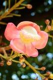 Cannonball λουλούδι Στοκ Φωτογραφία