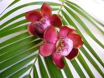cannonball το λουλούδι Στοκ Εικόνα