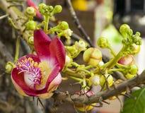 Cannonball drzewa kwiaty Couroupita guianensis Fotografia Stock