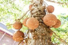 Cannonball drzewo Zdjęcia Royalty Free