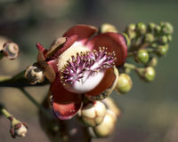 Cannonball Flower royalty free stock photography