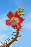 Cannonball flower Royalty Free Stock Images