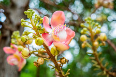 Cannonball flower with bokeh Stock Photography