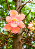 Cannonball flower with bokeh royalty free stock image