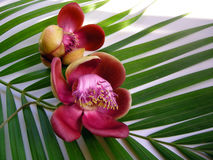 Cannonball Flower Fourteen Royalty Free Stock Photography