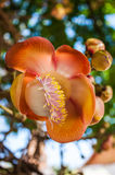 Cannonball flower. Shorea robusta or Cannonball flower from the tree Stock Photos
