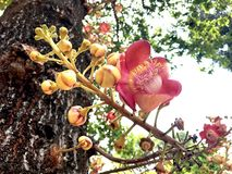 Cannonball flower in Thailand. Cannonball flower in Ayutthaya, Thailand stock photography