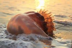 cannonball jellyfish Zdjęcie Stock