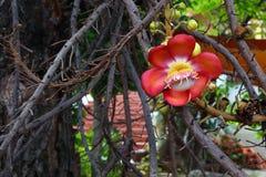 Cannonball kwiat na drzewie Fotografia Royalty Free