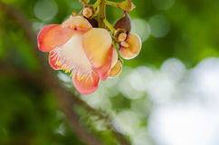 Cannonball Tree Stock Photography