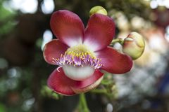 Cannonball tree Stock Images