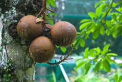 Cannonball tree royalty free stock images