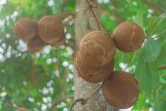 Cannonball tree Close up thailand stock photo