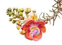 Cannonball tree Stock Image