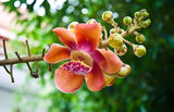 Cannonball tree : Couroupita guianensis Aubl. Royalty Free Stock Photos