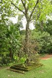 Cannonball tree (Couroupita guianensis) Stock Image