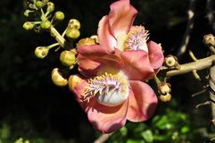 Cannonball tree (Couroupita guianensis) Royalty Free Stock Images