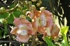 Cannonball tree (Couroupita guianensis) Stock Photos