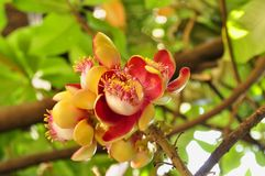 Cannonball tree (Couroupita guianensis) Royalty Free Stock Image
