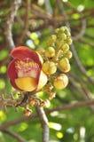 Cannonball tree (Couroupita guianensis) stock photography