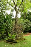 Cannonball tree (Couroupita guianensis) Stock Images